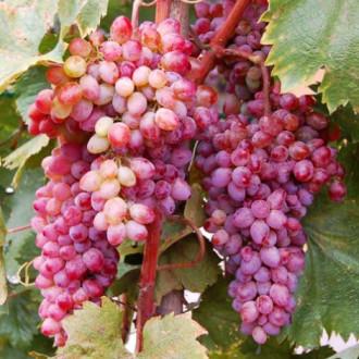 Виноград кишмиш Кинг Руби изображение 6