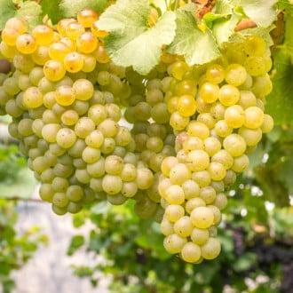 Виноград кишмиш белый изображение 8