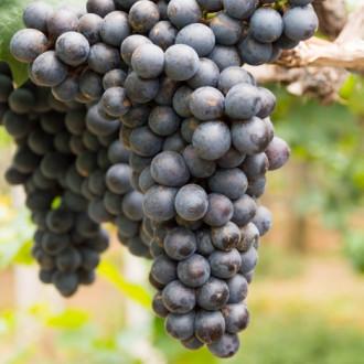 Виноград кишмиш черный изображение 3