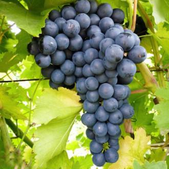 Виноград кишмиш Изумруд изображение 6