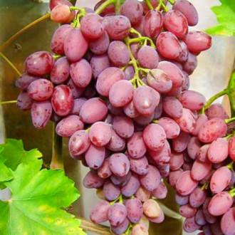 Виноград кишмиш Лучистый изображение 4