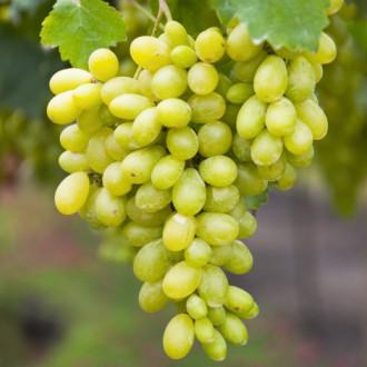 Виноград кишмиш Столетие изображение 2