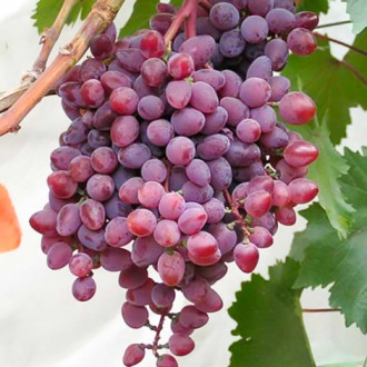 Виноград кишмиш Запорожский изображение 7
