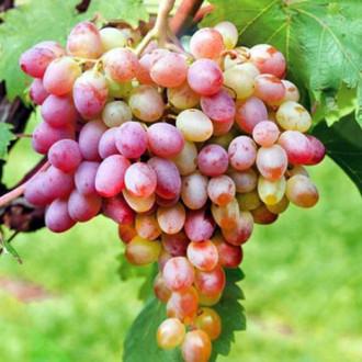 Виноград Ливия изображение 8
