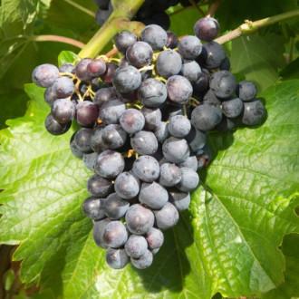 Виноград Мускат блау изображение 8