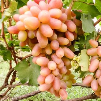 Виноград Сенсация изображение 7