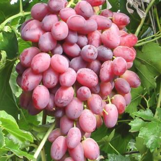 Виноград Шахиня Ирана изображение 3