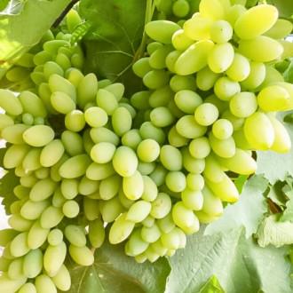 Виноград Тимур изображение 8