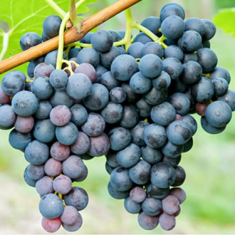Виноград Триумф изображение 6