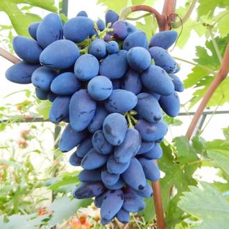 Виноград Викинг изображение 5