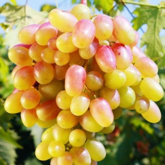 Виноград Золотой юбилей изображение 8