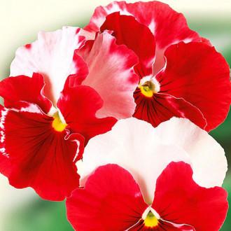 Виола Балерина F1 Premium Seeds изображение 4
