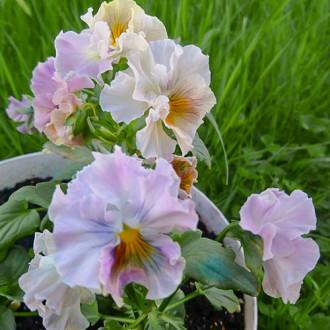 Виола Императрица, смесь окрасок Premium Seeds изображение 8