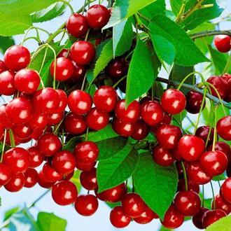 Вишня Уральская рубиновая изображение 2