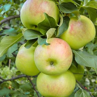 Яблоня Богатырь изображение 3