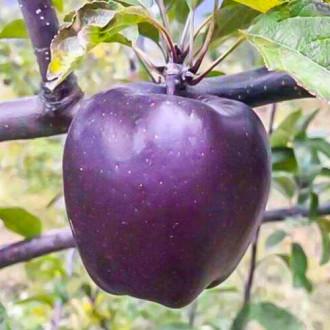 Яблоня Черный бриллиант изображение 8