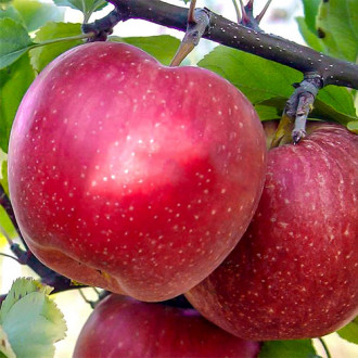 Яблоня Фуджи изображение 6