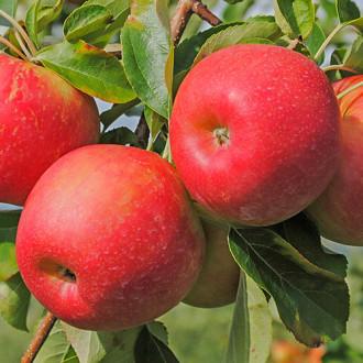 Яблоня Гала изображение 6