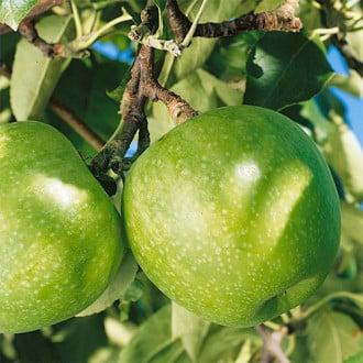 Яблоня Гренни Смит изображение 5