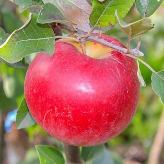 Яблоня Карамельная изображение 4