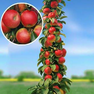 Яблоня колоновидная Арбат изображение 5
