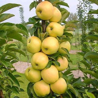 Яблоня колоновидная Болеро изображение 8