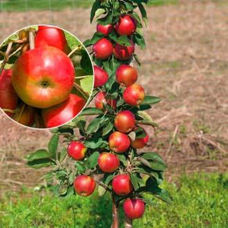 Яблоня колоновидная Элита изображение 5