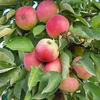 Яблоня колоновидная Кумир изображение 5