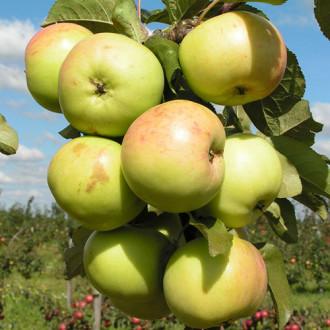Яблоня колоновидная Малюха изображение 2