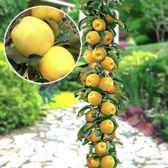 Яблоня колоновидная Медок изображение 1