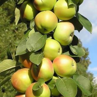 Яблоня колоновидная Патриот изображение 3