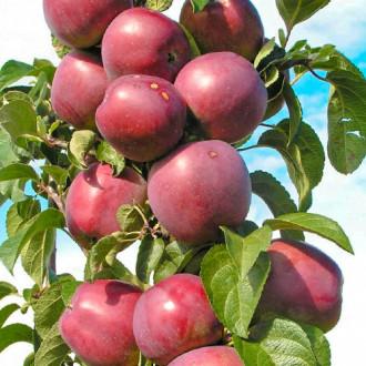 Яблоня колоновидная Виктория изображение 1