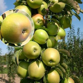 Яблоня колоновидная Янтарное ожерелье изображение 7