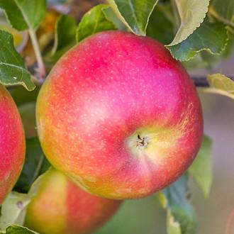 Яблоня Лигол изображение 8