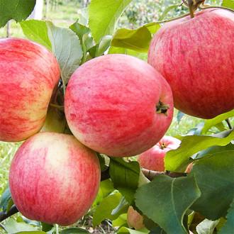 Яблоня Мельба изображение 2