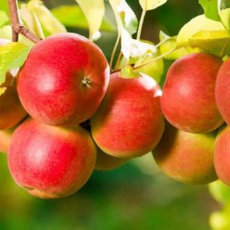 Яблоня Пинк Леди изображение 3