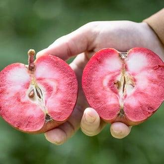 Яблоня Пинк Перпл изображение 5