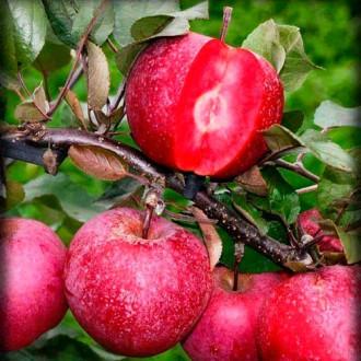 Яблоня Розовый жемчуг (красная мякоть) изображение 6