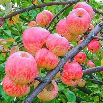 Яблоня Яблочный Спас изображение 4
