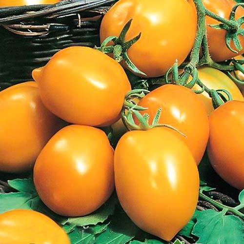 Томат Непас 5 (Непасынкующийся оранжевый с носиком) Седек изображение 1 артикул 66694