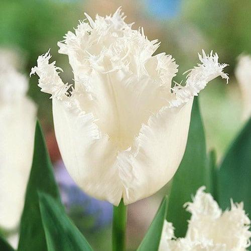 Тюльпан бахромчатый Дайтона изображение 1 артикул 67723