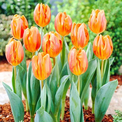 Тюльпан Эрмитаж изображение 1 артикул 67868