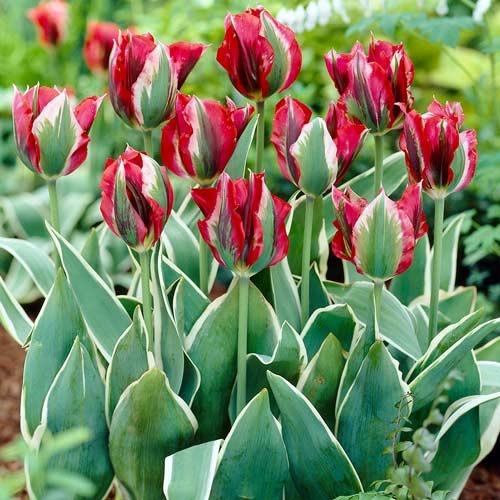 Тюльпан зеленоцветный Эсперанто изображение 1 артикул 67869