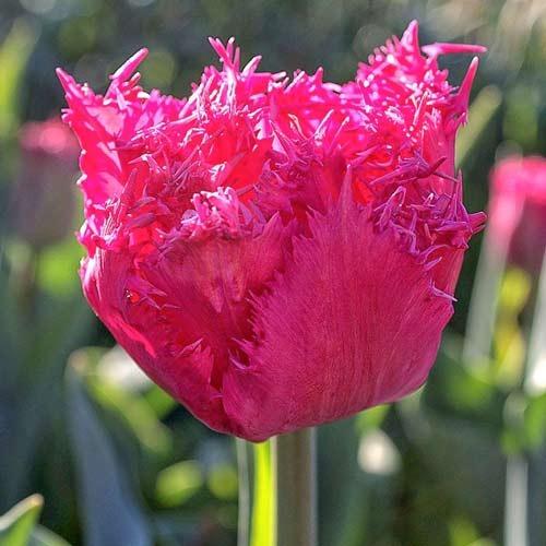 Тюльпан бахромчатый Кингстон изображение 1 артикул 67696