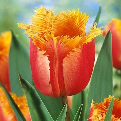 Тюльпан бахромчатый Ламбада изображение 1 артикул 68105