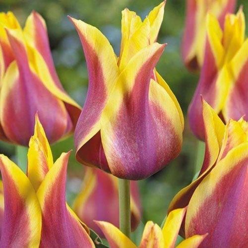 Тюльпан лилиецветный Баллада Дрим изображение 1 артикул 67477