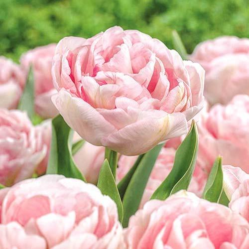 Тюльпан махровый Анжелика изображение 1 артикул 67684