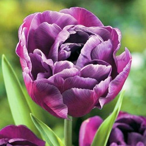 Тюльпан махровый Блю Даймонд изображение 1 артикул 67769