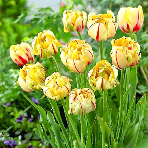 Тюльпан махровый Гламур Юник изображение 1 артикул 67714