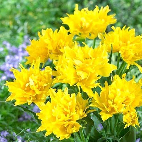 Тюльпан лилиецветный Монте Спайдер изображение 1 артикул 67776